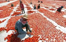 Россия снимает ограничения на поставки турецких томатов